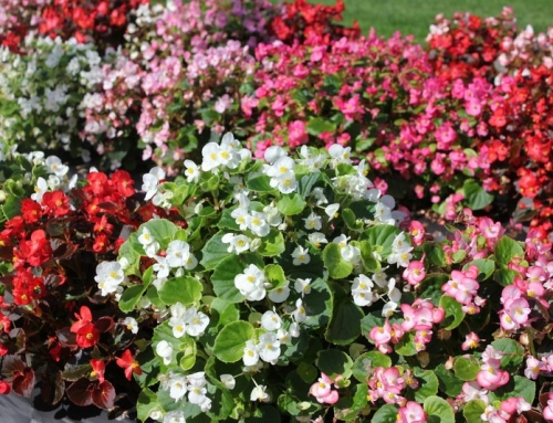 Begonia species and hybrids
