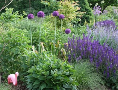 Allium species & hybrids