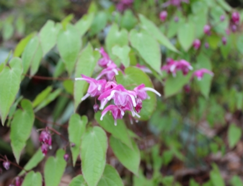 Epimedium species and hybrids