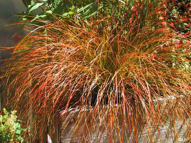 Carex Species And Hybrids
